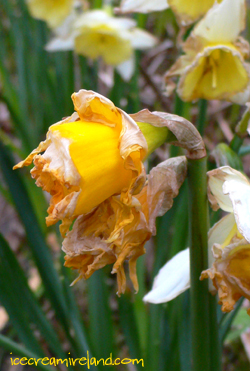 Daffodils Dying