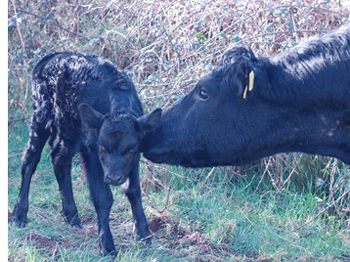 Kerry Calf and Cow