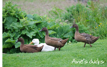 Aine's Ducks