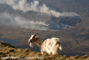 Goat on Conor Pass