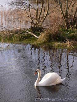 Killarney Swan