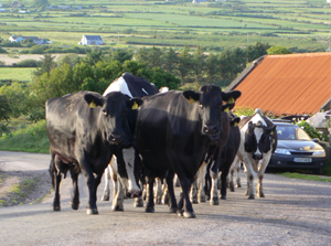 Kerry Cows Walking